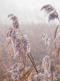 Морозный тростник в зиме Стоковое фото RF
