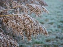 Морозный тростник в зиме Стоковое Фото