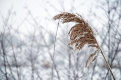 морозный тростник 2 Стоковая Фотография RF