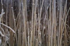Морозный тростник Стоковые Изображения
