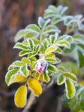 Морозный briar цветка стоковые фотографии rf