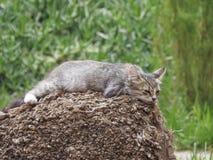 Морокканский кот предусматривая жизнь Стоковые Изображения RF