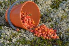 Морошки крошили от ведра на мох Стоковая Фотография RF