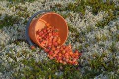 Морошки крошили от ведра на мох Стоковые Фотографии RF