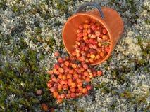 Морошки крошили от ведра на мох Стоковое Фото