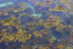 Морская водоросль в мелководье Стоковая Фотография RF