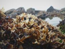 Морская водоросль и морская флора и фауна между утесами и соленой водой стоковое изображение