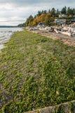 Морская водоросль на береге Стоковые Фото
