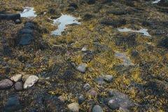 Морская водоросль на исландском побережье Стоковое Изображение