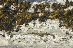 Морская водоросль во время отлива Стоковые Фотографии RF