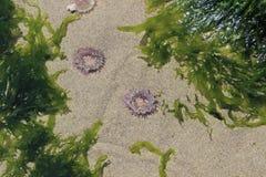 Морская водоросль в бассейне прилива Стоковое Фото