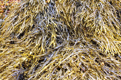 Морская водоросль или разрушает Стоковые Изображения RF