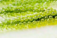 Морская водоросль крупного плана на белой предпосылке стоковая фотография rf