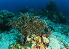 Морская водоросль на коралловом рифе Стоковые Фото