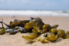 Морская водоросль на пляже Стоковые Фото