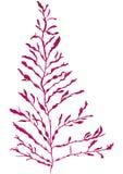 Морская водоросль dulse Depper Стоковое Изображение