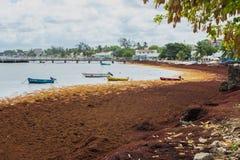 Морская водоросль Sargassum на пляже Барбадос стоковые фото