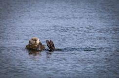 Морская выдра с келпом Стоковое Изображение