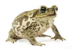 Морская жаба Стоковое Изображение