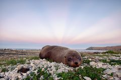 Морская живая природа уплотнения в Kaikoura, Новой Зеландии стоковая фотография rf
