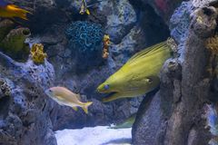 Морская жизнь желтых головных рыб морены подводная Стоковое Фото