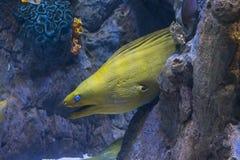 Морская жизнь желтых головных рыб морены подводная Стоковые Фотографии RF
