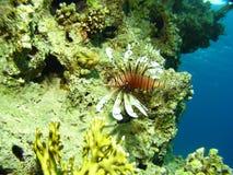 Морская жизнь - коралл и крылатка-зебра Стоковые Фото