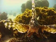 Морская жизнь - коралл и крылатка-зебра Стоковые Изображения