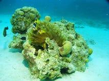 Морская жизнь - коралл и рыбы Стоковые Изображения