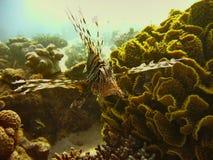 Морская жизнь - крылатка-зебра Стоковое фото RF