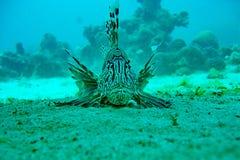 Морская жизнь - крылатка-зебра Стоковое Фото