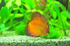 Морская жизнь - рыба discus крови вихруна Стоковое Фото