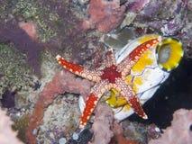Морская звезда ожерелья Стоковая Фотография RF