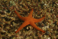 Морская звезда, остров Mabul, Сабах стоковое фото