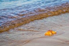 Морская звёзда лежит на влажном песке на пляже стоковая фотография rf