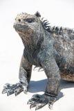 Морская игуана в островах Галапагос Стоковое Изображение RF