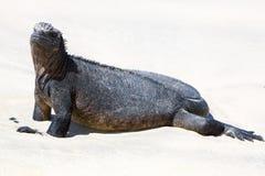 Морская игуана в островах Галапагос Стоковая Фотография