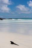 Морская игуана в островах Галапагос Стоковые Изображения