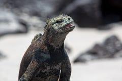 Морская игуана в островах Галапагос Стоковое Изображение