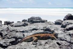 Морская игуана в островах Галапагос Стоковое Фото
