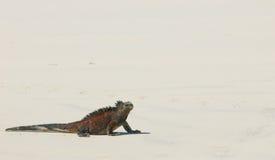 Морская игуана в пляже Стоковые Фото