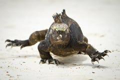 Морская игуана гуляя прямо на вас стоковые фотографии rf
