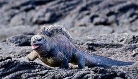 Морская игуана или игуана Галапагос морская игуана которая живет только на островах Галапагос стоковое изображение rf