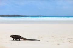 Морская игуана на белом пляже песка Стоковые Фотографии RF
