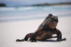 Морская игуана на пляже Стоковые Изображения