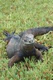 Морская игуана - острова Галапагос Стоковое Изображение RF