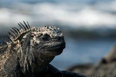 Морская игуана Стоковая Фотография