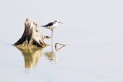 Морская птица стоя около пня с отражением в мелководье Стоковые Изображения RF