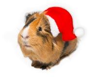 Морская свинка в рождестве Стоковая Фотография RF