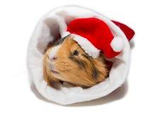 Морская свинка в рождестве Стоковые Фотографии RF